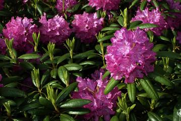 Garden rhododendron. Pretty, purple and pink.