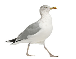 European Herring Gull, Larus argentatus, 4 years old