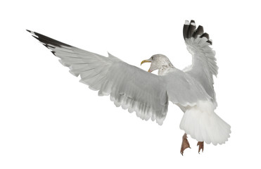 European Herring Gull, Larus argentatus, 4 years old, flying