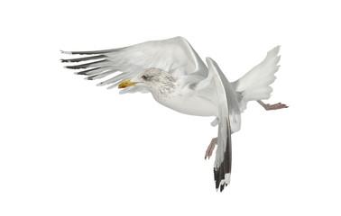 European Herring Gull, Larus argentatus, 4 years old, flying