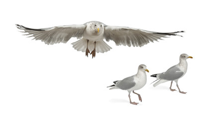 European Herring Gulls, Larus argentatus, 4 years old