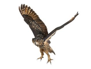 Eurasian Eagle-Owl, Bubo bubo, 15 years old, flying