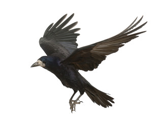 Rook, Corvus frugilegus, 3 years old