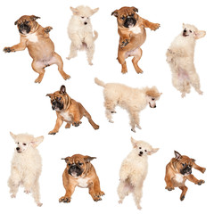 Flying Boxer and Poodle puppies against white background