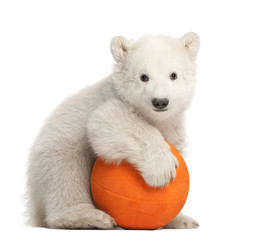 Poster Ijsbeer Polar bear cub, Ursus maritimus, 3 months old, playing with ball