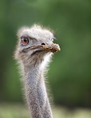 Head of  ostrich emu close up..