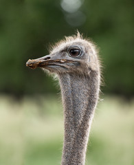 ostrich emu head close up