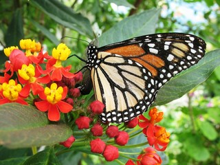 Monarch butterfly on red and yellow flowers