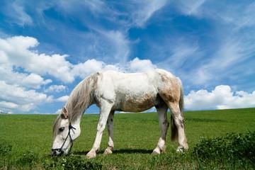 Horse eating grass, summer