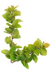 Alder green leaves