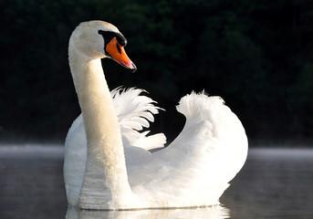 Foto op Canvas Zwaan swan on the lake