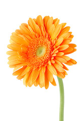 Deurstickers Gerbera Orange gerbera daisy flower