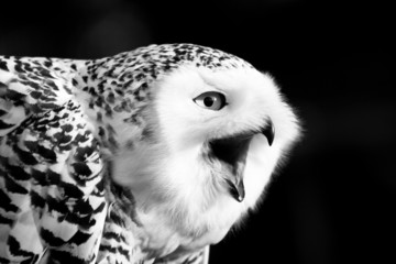 Fototapete - Snowy Owl Black and White