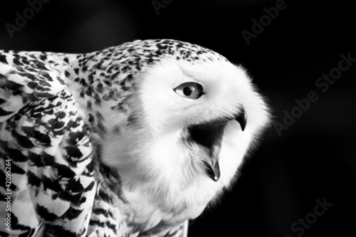 Wall mural Snowy Owl Black and White