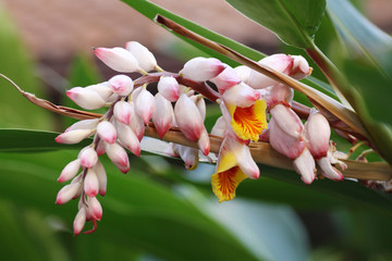Shell ginger flower