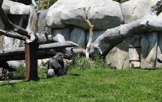 Gray Gorilla in a Zoo Enclosure