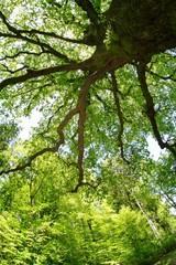 Tuinposter Aan het plafond Sulzeiche am Schönbuchrand | alte Eiche im Frühjahr