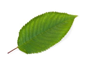Kirschbaum-Blatt (freigestellt)