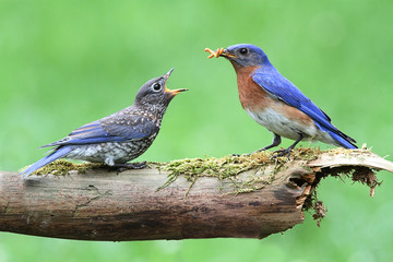 Fotoväggar - Male Eastern Bluebird With Baby