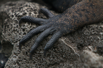 Galapagos marine Iguana foot closeup