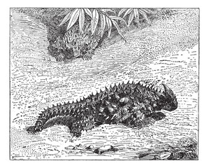Thorny Devil or Moloch horridus, vintage engraving