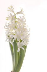 Spring flowers of hiacinth  isolated on white background