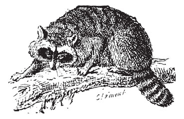 Raccoon or Common Raccoon, vintage engraving.