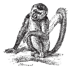 Squirrel Monkey or Saimiri sp., vintage engraving