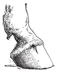 Horse Hoof, vintage engraving
