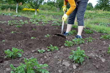 Gardener with hoe cultivating potato plants