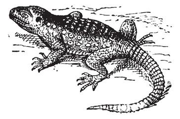 Stellion (Laudakia stellio) or hardim, vintage engraving.