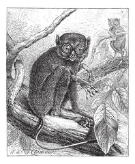 Two Tarsiers vintage engraving