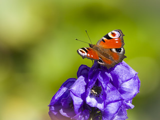 Inachis Io butterfly