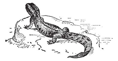 Crested Newt or Triturus sp., vintage engraving