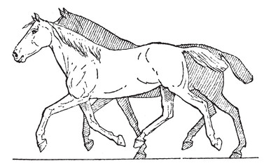 Trot or Horse Gait, vintage engraving