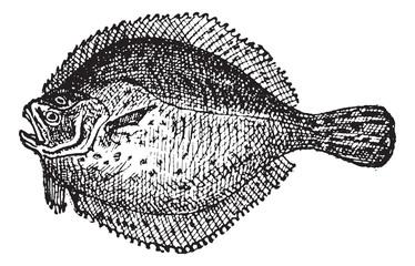 Turbot or Scophthalmus maximus, vintage engraving