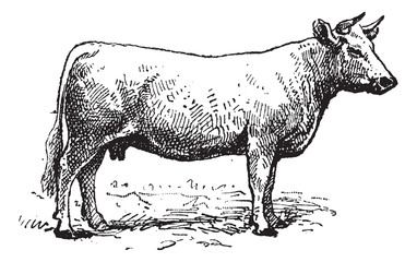 Charolais cattle, vintage engraving.