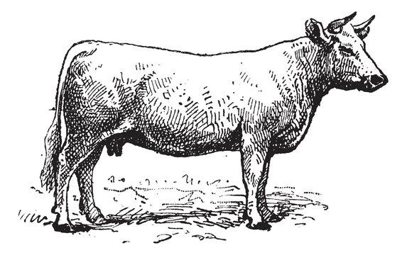 Charolais cattle, vintage engraving.