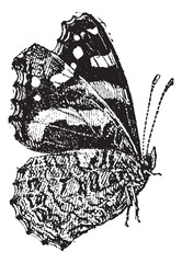 The Red Admiral (Vanessa atalanta) a colorful butterfly, vintage