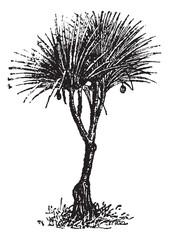 Vaquois (pandanus candelabrume), vintage engraving.