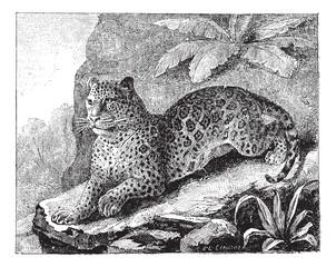 Jaguar, vintage engraving.