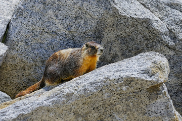 yellow-bellied marmot, yosemite national park, california