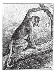 Kahau or proboscis monkey (Nasalis larvatus), vintage engraving.