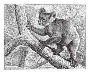 Koala, vintage engraving.