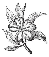 Cola or Cola sp., vintage engraving