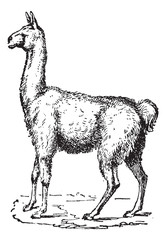 Lama, vintage engraving.