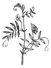 Lentil or Lens culinaris, vintage engraving