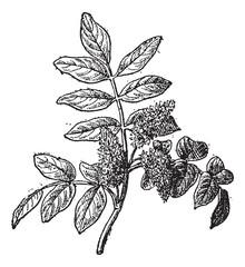 Mastic or Pistacia lentiscus, vintage engraving