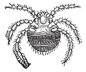 Harvest Mite or Trombicula autumnalis, vintage engraving