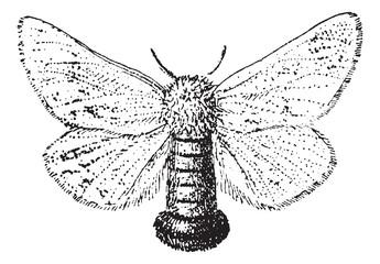 Gypsy Moth or Lymantria dispar, vintage engraving